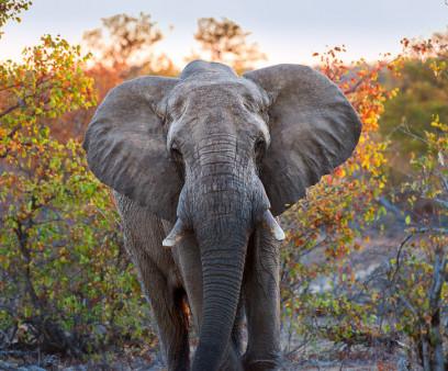 elephant, Brittenson
